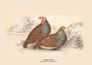 COMMON PARTRIDGE = Perdix Cinerea -- Aldrovandus, Ray